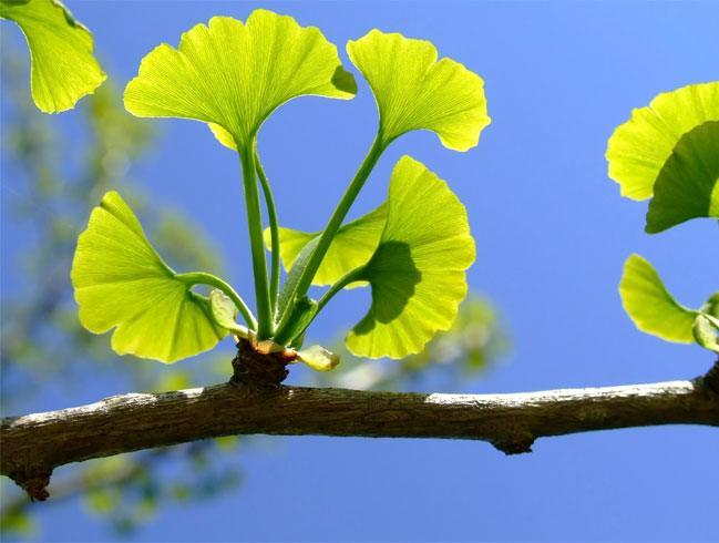 Gingko as Natural Medicine For Memory Loss