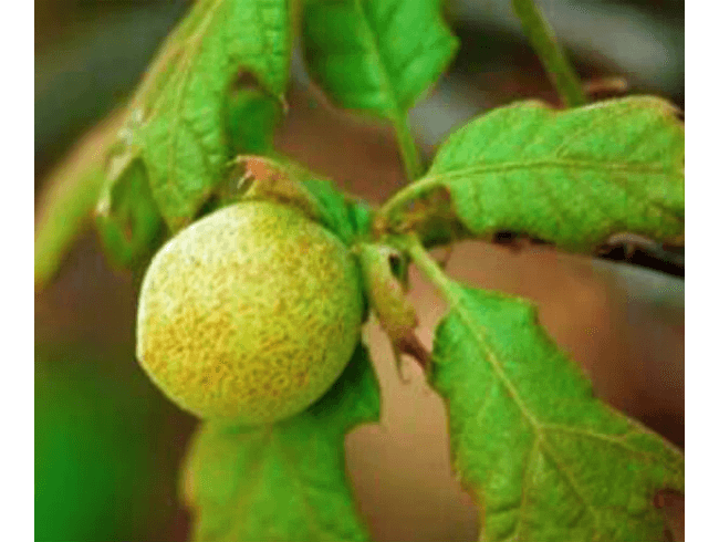 Tighten Vaginal Walls with Oak Gall