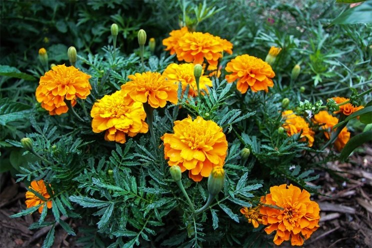 Home Remedies Using Marigold