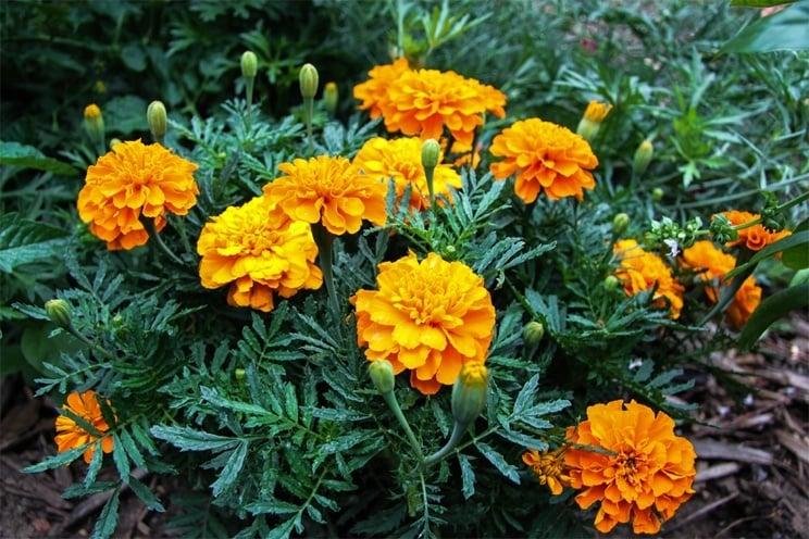 Home Remedies Using Marigold