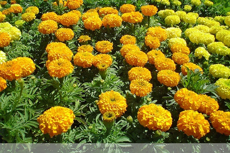 marigold flower for beauty