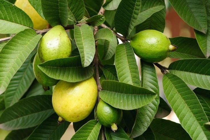 Health Benefits Of Guava