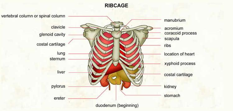 Right Rib Cage Organ For Women