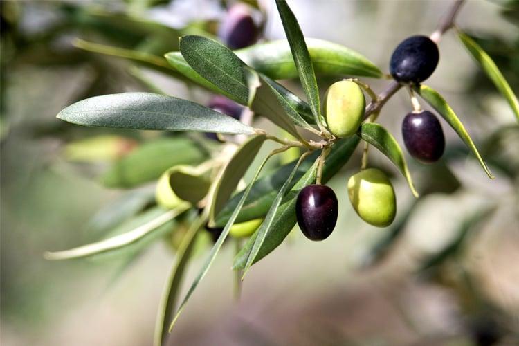 「olive leaf」の画像検索結果
