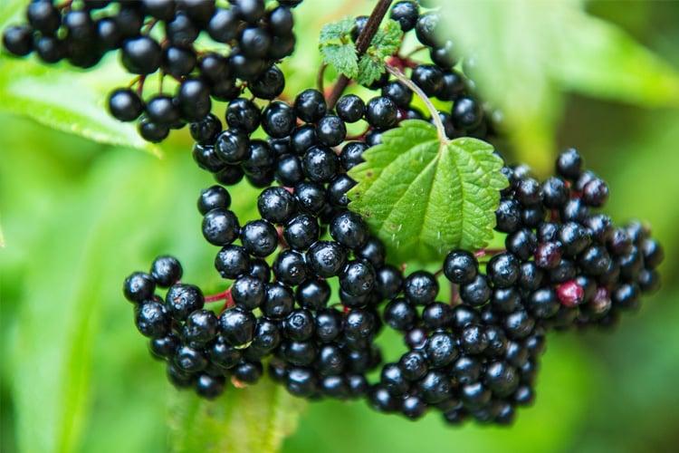 Benefits of Elderberries