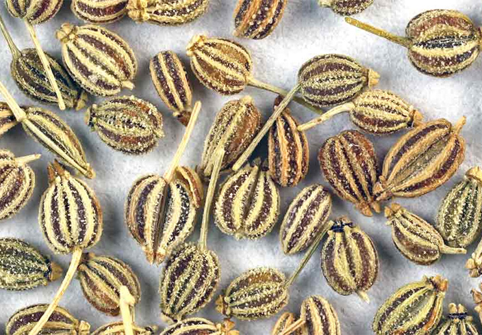 Carom Seeds for Asthma