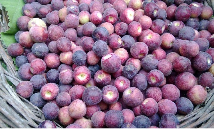 Falsa fruits for Summer