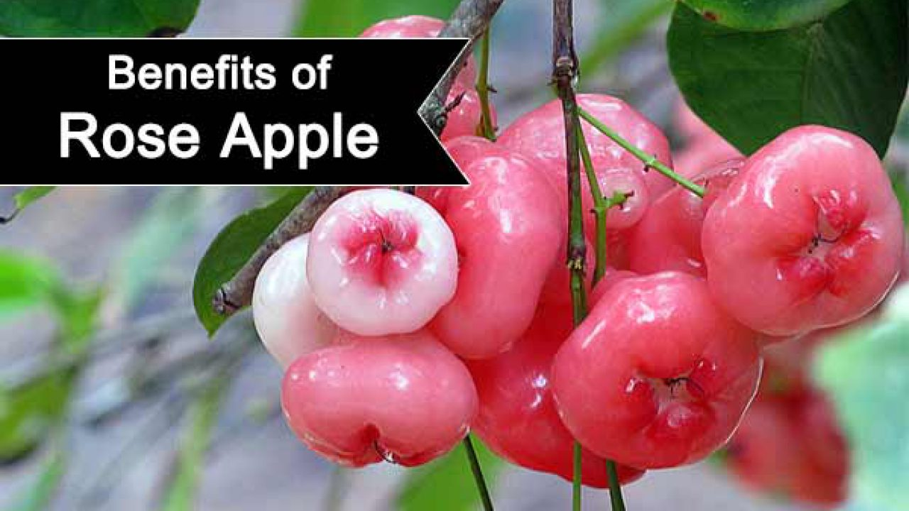 14 benefits of rose apple you wish you knew sooner | indian