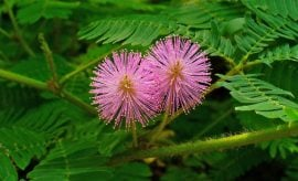 Mimosa Pudica Benefits
