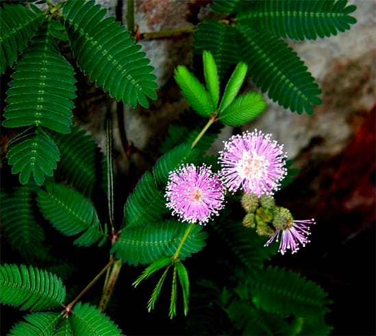 Mimosa Pudica Nutritional Value