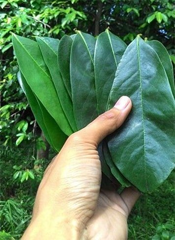 Guyabano Leaves